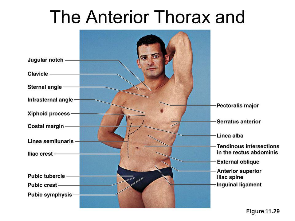 The Anterior Thorax and Abdomen Figure 11.29