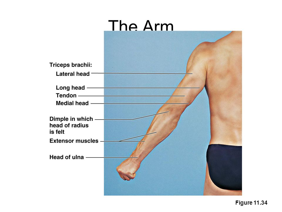 The Arm Figure 11.34