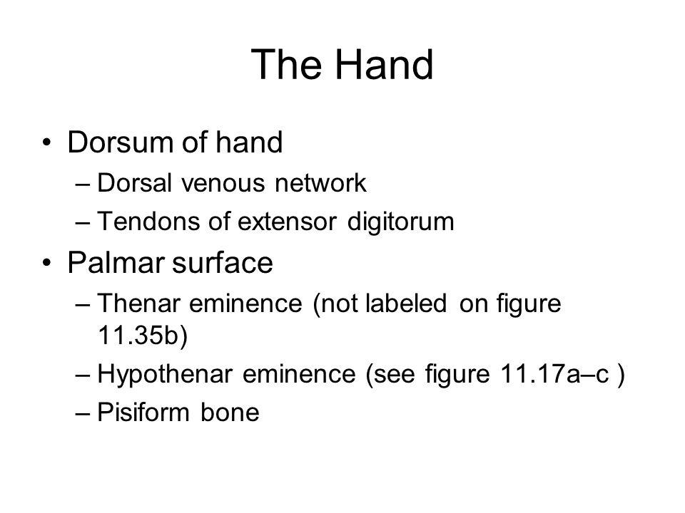 The Hand Dorsum of hand –Dorsal venous network –Tendons of extensor digitorum Palmar surface –Thenar eminence (not labeled on figure 11.35b) –Hypothenar eminence (see figure 11.17a–c ) –Pisiform bone