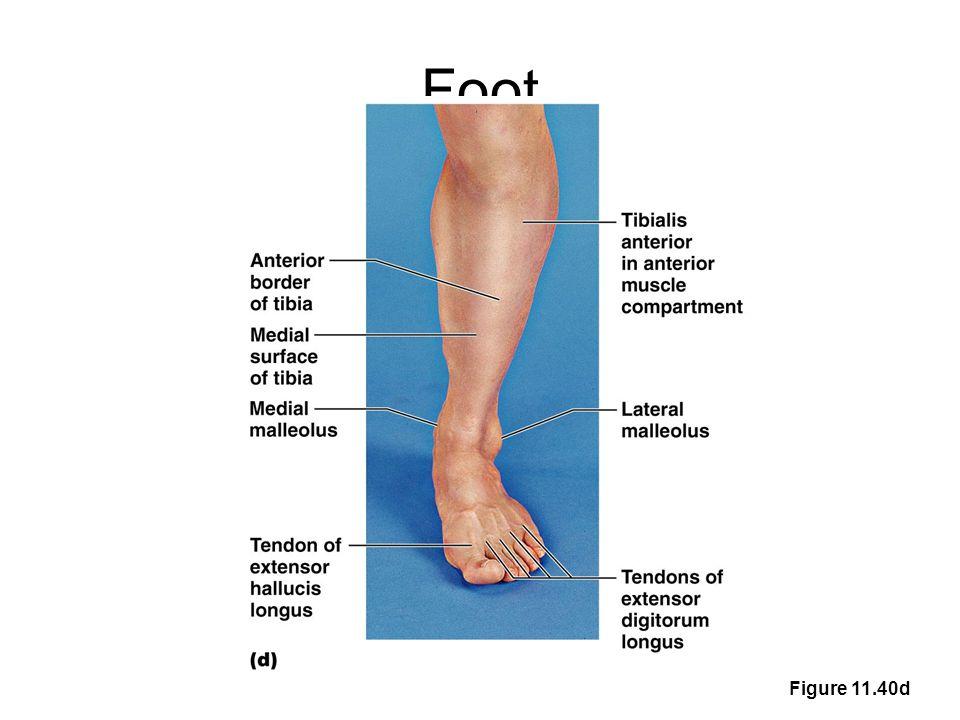 Foot Figure 11.40d