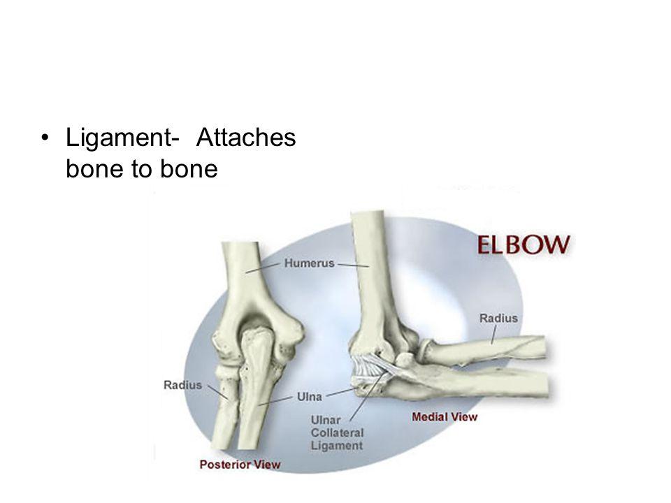 Ligament- Attaches bone to bone