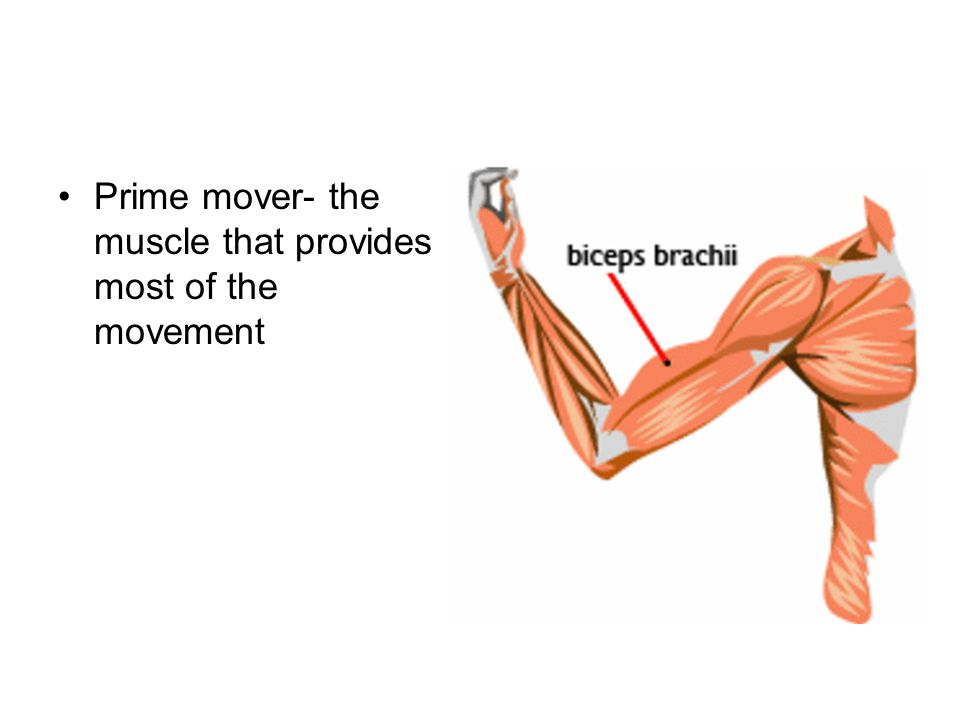 Prime mover- the muscle that provides most of the movement