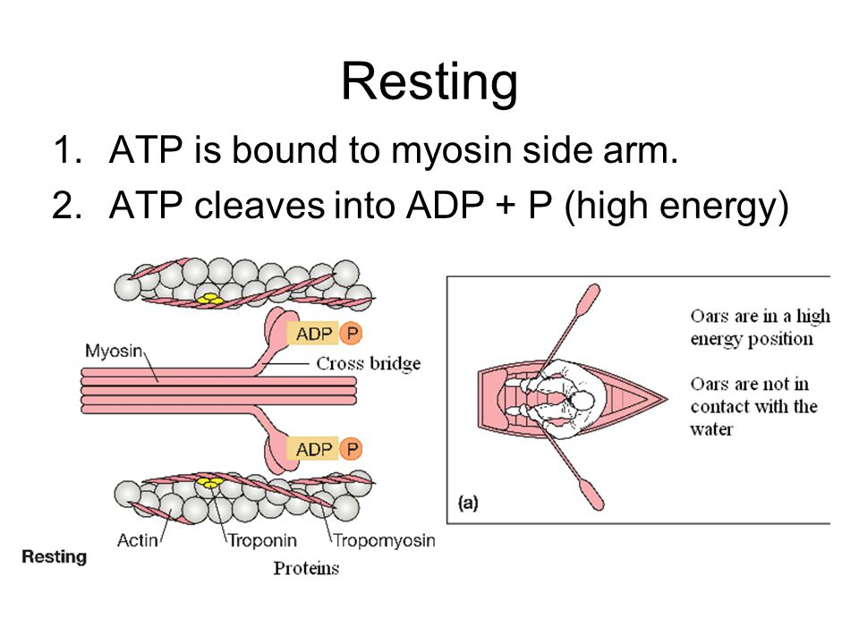 Resting 1.ATP is bound to myosin side arm. 2.ATP cleaves into ADP + P (high energy)