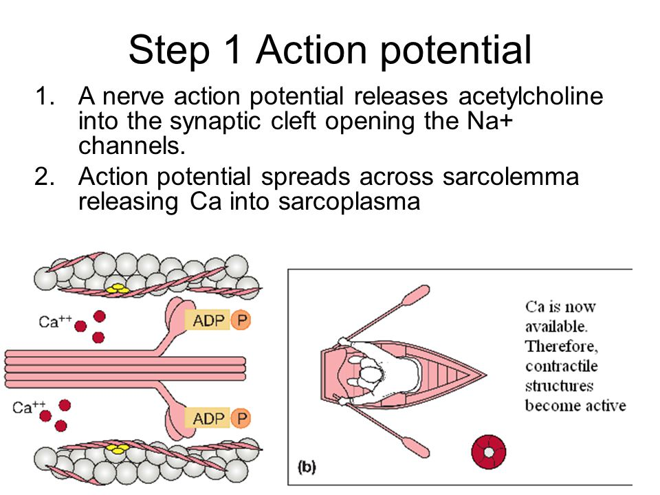 Step 1 Action potential 1.A nerve action potential releases acetylcholine into the synaptic cleft opening the Na+ channels. 2.Action potential spreads