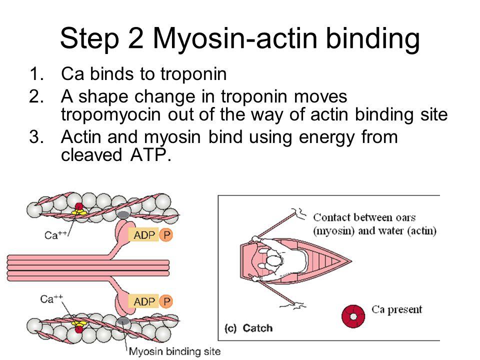 Step 2 Myosin-actin binding 1.Ca binds to troponin 2.A shape change in troponin moves tropomyocin out of the way of actin binding site 3.Actin and myo