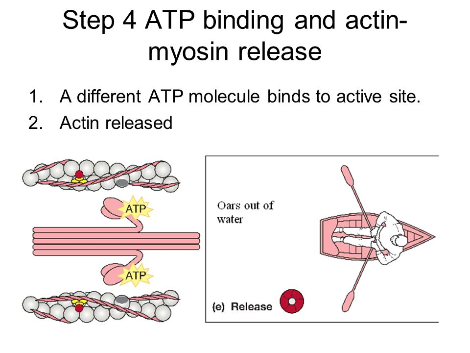 Step 4 ATP binding and actin- myosin release 1.A different ATP molecule binds to active site. 2.Actin released