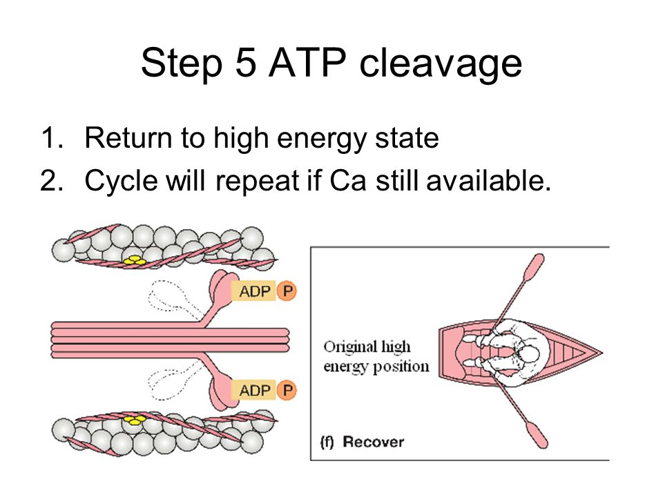 Step 5 ATP cleavage 1.Return to high energy state 2.Cycle will repeat if Ca still available.