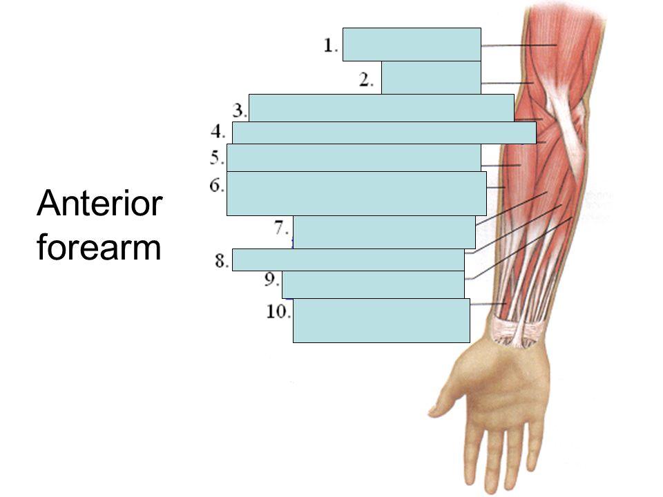 Anterior forearm