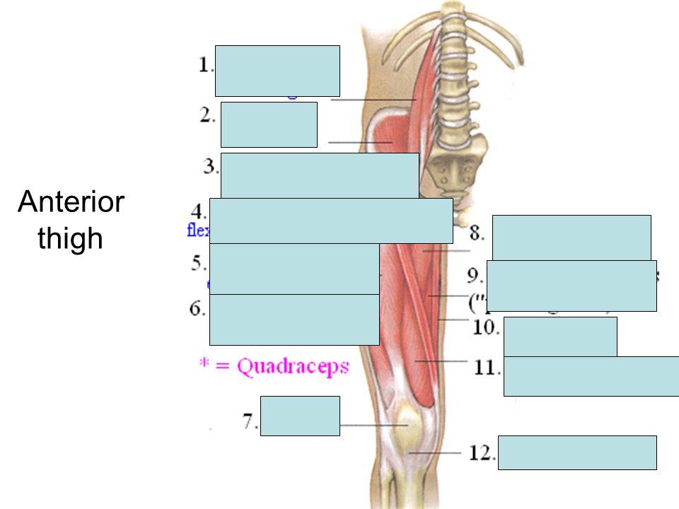 Anterior thigh