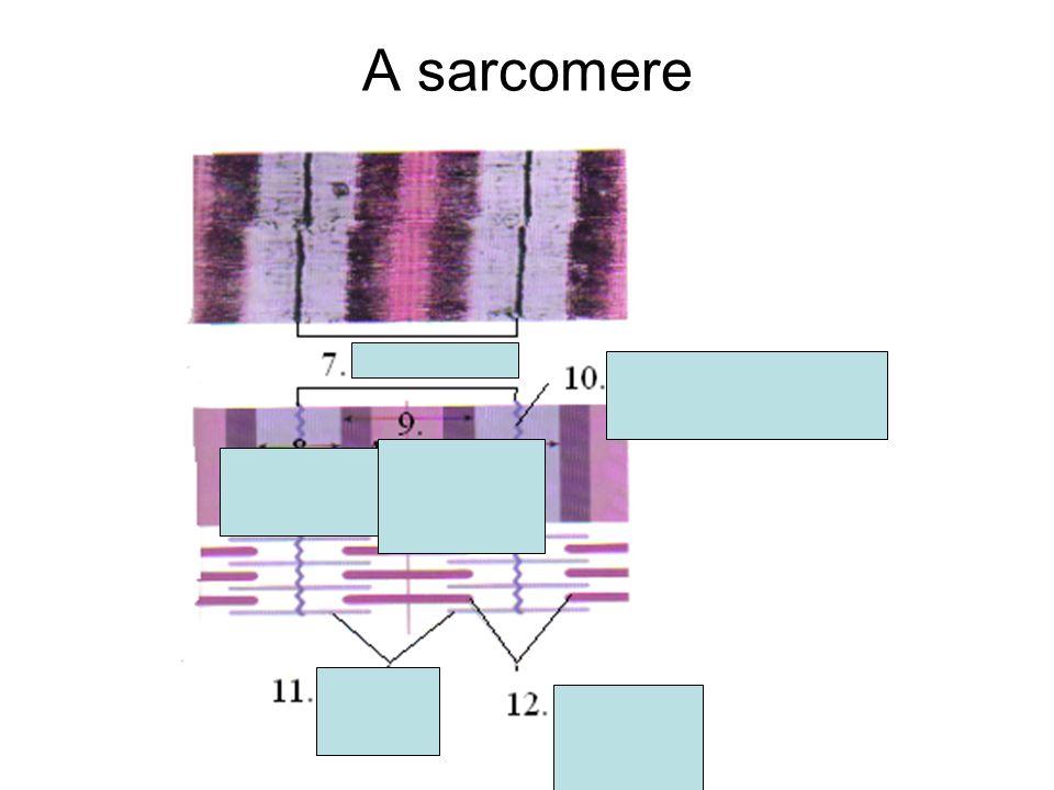 A sarcomere