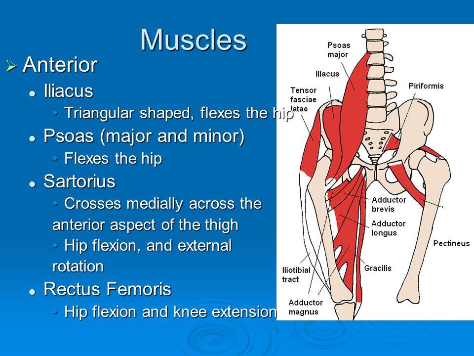 Muscles  Anterior Iliacus Iliacus Triangular shaped, flexes the hipTriangular shaped, flexes the hip Psoas (major and minor) Psoas (major and minor)