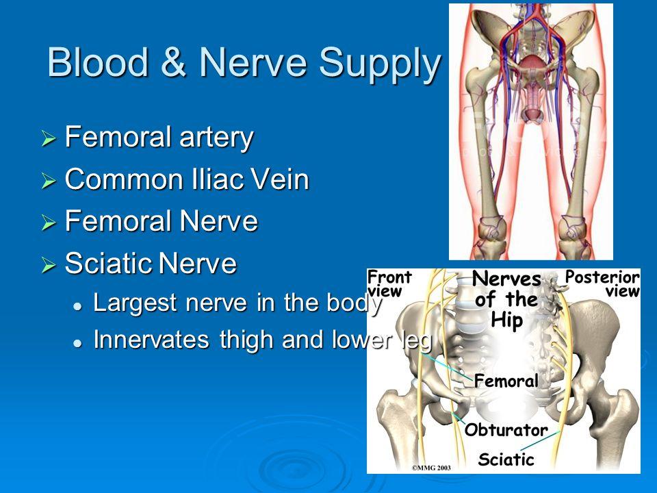 Blood & Nerve Supply  Femoral artery  Common Iliac Vein  Femoral Nerve  Sciatic Nerve Largest nerve in the body Largest nerve in the body Innervat