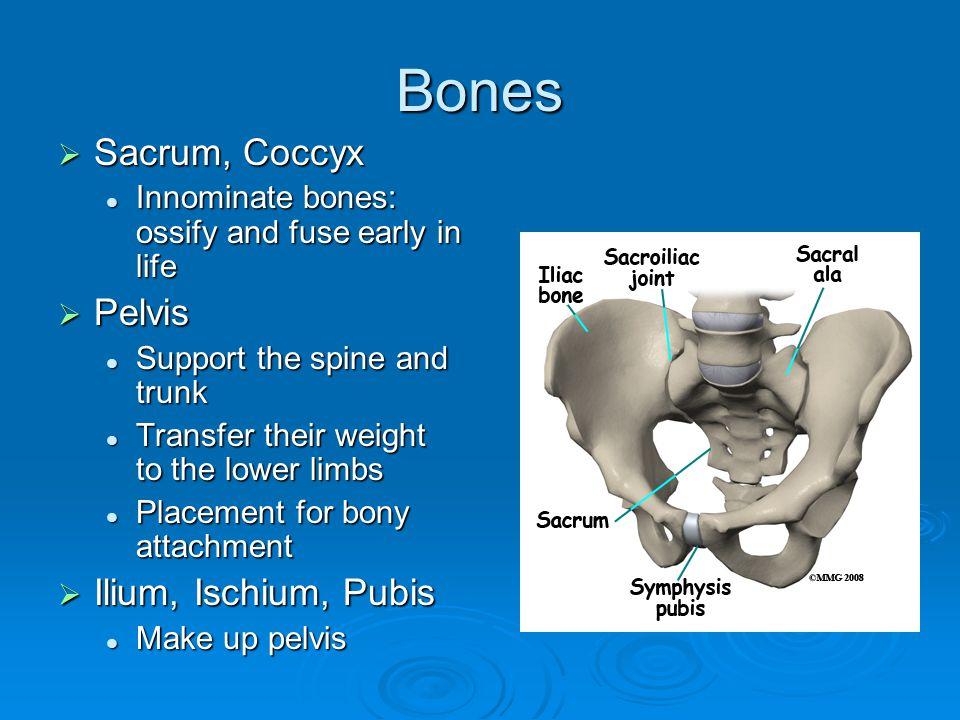Bones  Sacrum, Coccyx Innominate bones: ossify and fuse early in life Innominate bones: ossify and fuse early in life  Pelvis Support the spine and