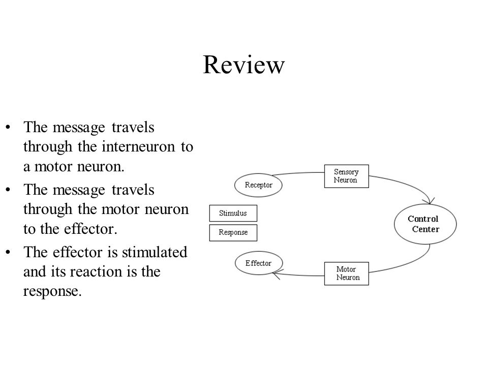 Review The message travels through the interneuron to a motor neuron. The message travels through the motor neuron to the effector. The effector is st
