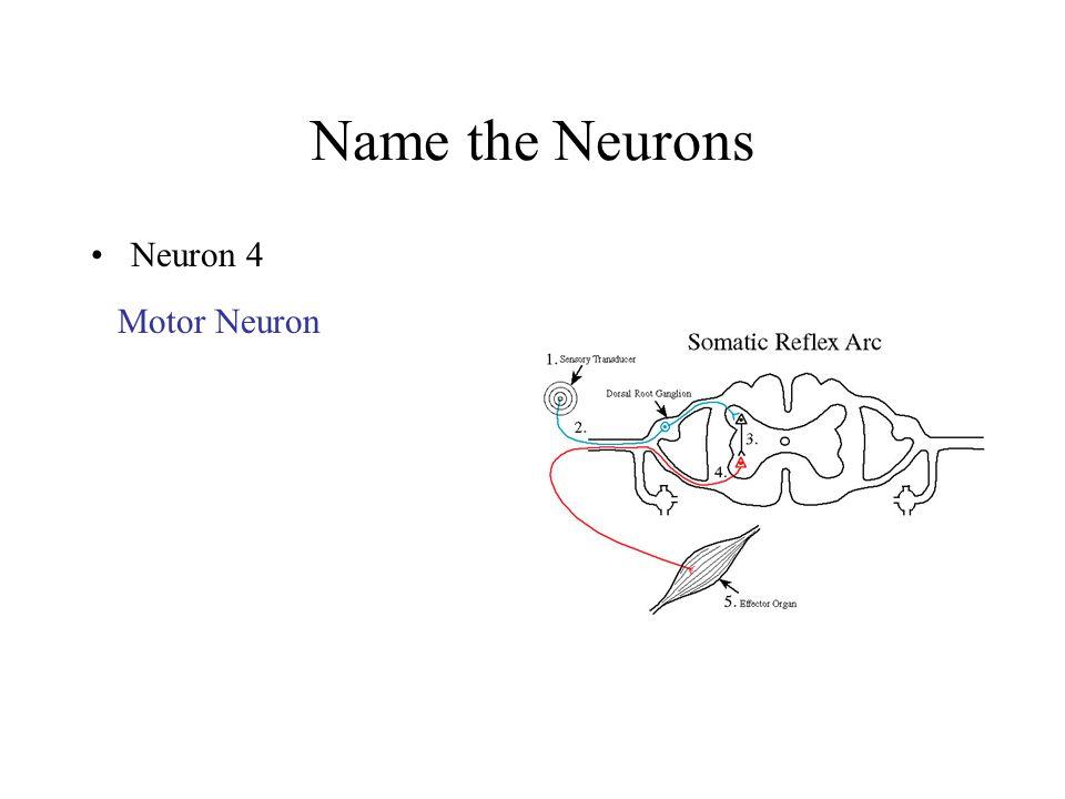 Name the Neurons Neuron 4 Motor Neuron