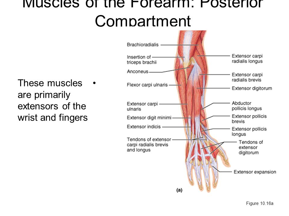 Muscles of the Forearm: Posterior Compartment These muscles are primarily extensors of the wrist and fingers Figure 10.16a