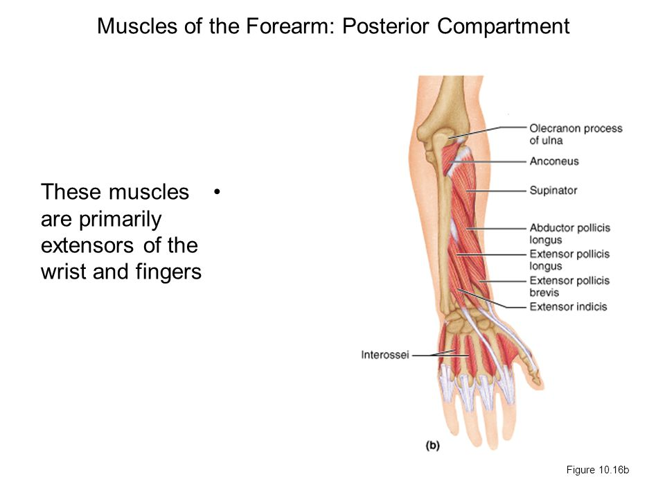 Muscles of the Forearm: Posterior Compartment These muscles are primarily extensors of the wrist and fingers Figure 10.16b