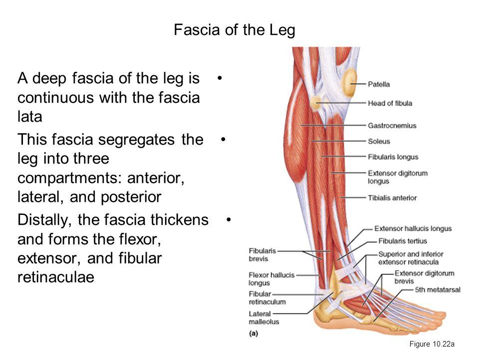 Fascia of the Leg A deep fascia of the leg is continuous with the fascia lata This fascia segregates the leg into three compartments: anterior, latera