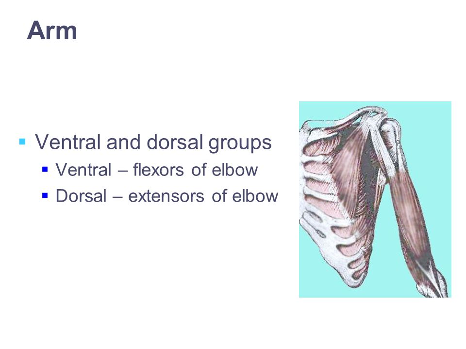 Arm  Ventral and dorsal groups  Ventral – flexors of elbow  Dorsal – extensors of elbow