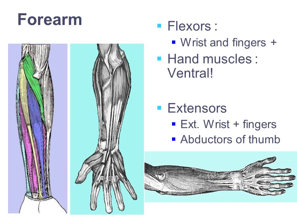 Forearm  Flexors :  Wrist and fingers +  Hand muscles : Ventral.