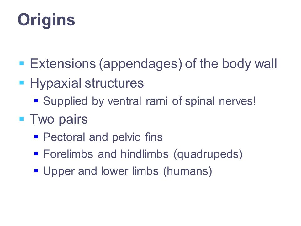Origins  Extensions (appendages) of the body wall  Hypaxial structures  Supplied by ventral rami of spinal nerves.