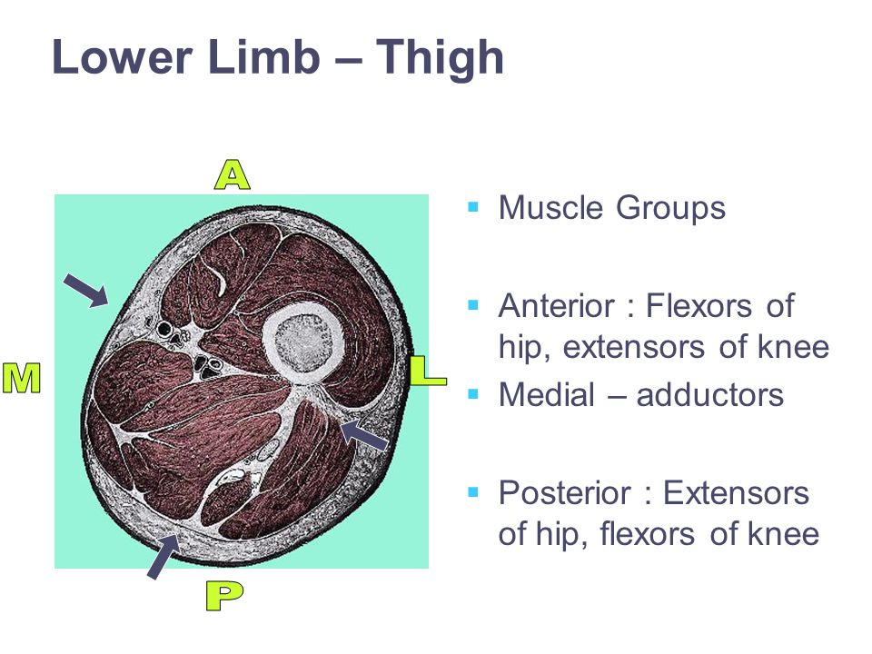 Lower Limb – Thigh   Muscle Groups   Anterior : Flexors of hip, extensors of knee   Medial – adductors   Posterior : Extensors of hip, flexors of knee