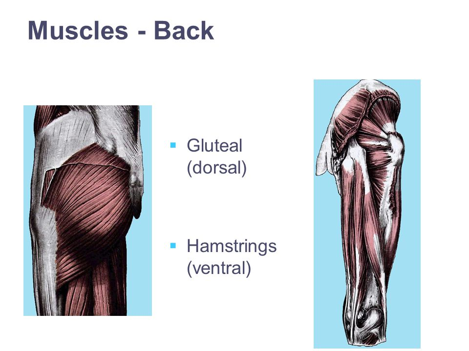 Muscles - Back   Gluteal (dorsal)   Hamstrings (ventral)