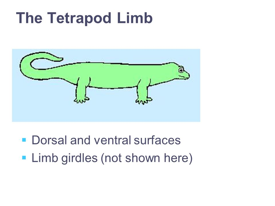 The Tetrapod Limb  Dorsal and ventral surfaces  Limb girdles (not shown here)