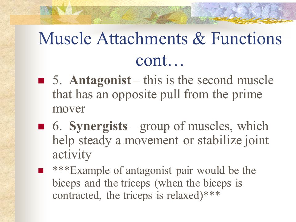 Muscle Attachments & Functions cont… 5. Antagonist – this is the second muscle that has an opposite pull from the prime mover 6. Synergists – group of