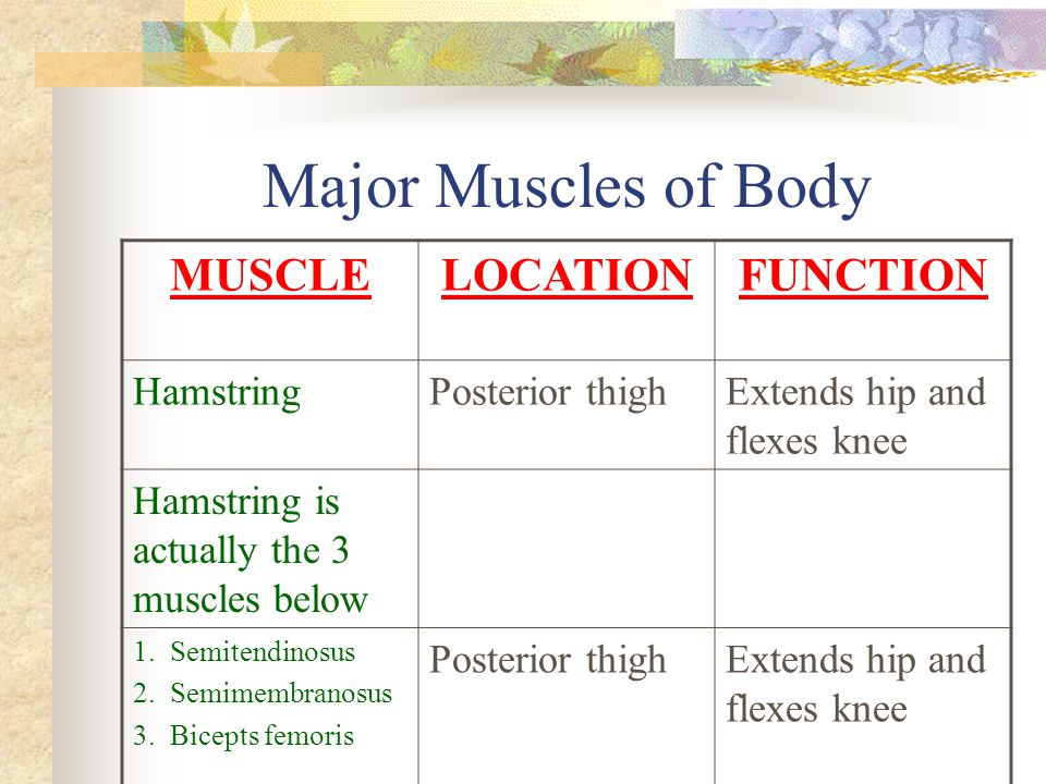 Major Muscles of Body MUSCLELOCATIONFUNCTION HamstringPosterior thighExtends hip and flexes knee Hamstring is actually the 3 muscles below 1. Semitend