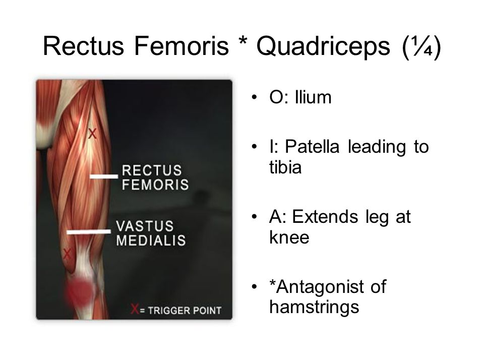 Rectus Femoris * Quadriceps (¼) O: Ilium I: Patella leading to tibia A: Extends leg at knee *Antagonist of hamstrings