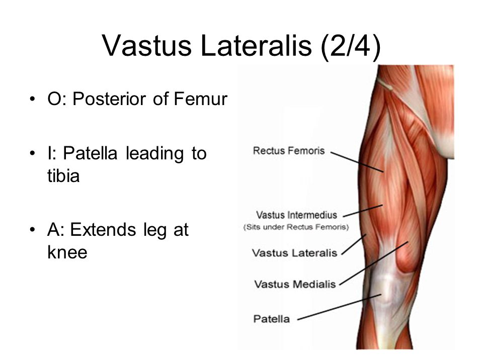 Vastus Lateralis (2/4) O: Posterior of Femur I: Patella leading to tibia A: Extends leg at knee