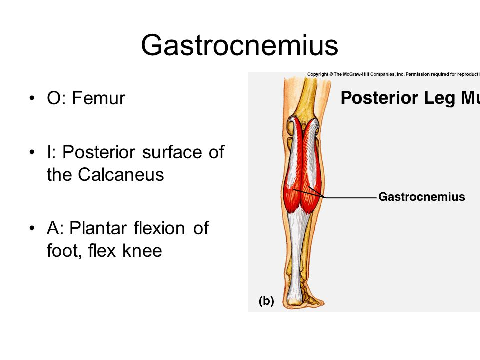 Gastrocnemius O: Femur I: Posterior surface of the Calcaneus A: Plantar flexion of foot, flex knee