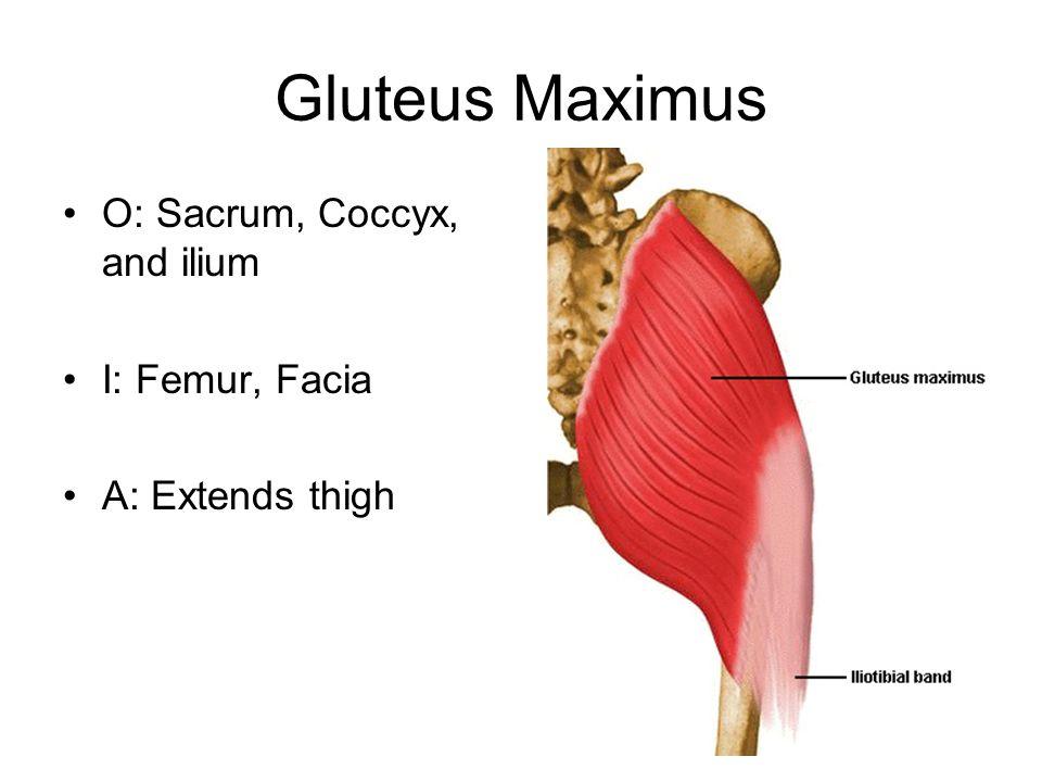 Gluteus Maximus O: Sacrum, Coccyx, and ilium I: Femur, Facia A: Extends thigh