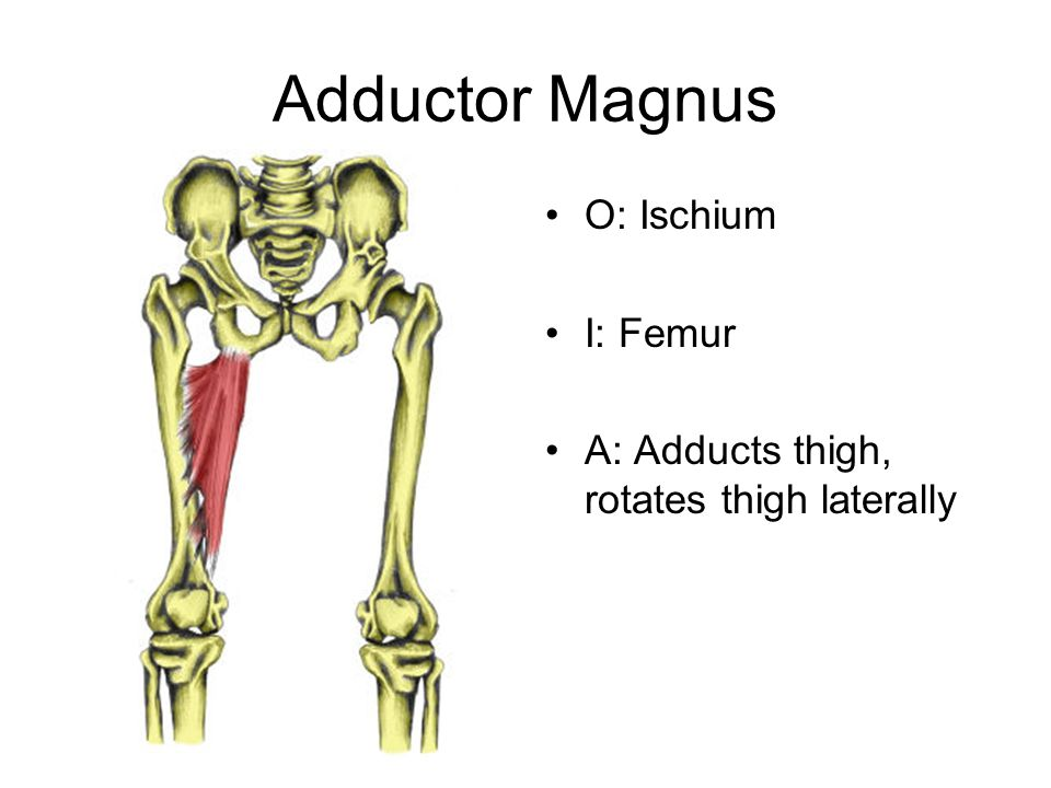 Adductor Magnus O: Ischium I: Femur A: Adducts thigh, rotates thigh laterally