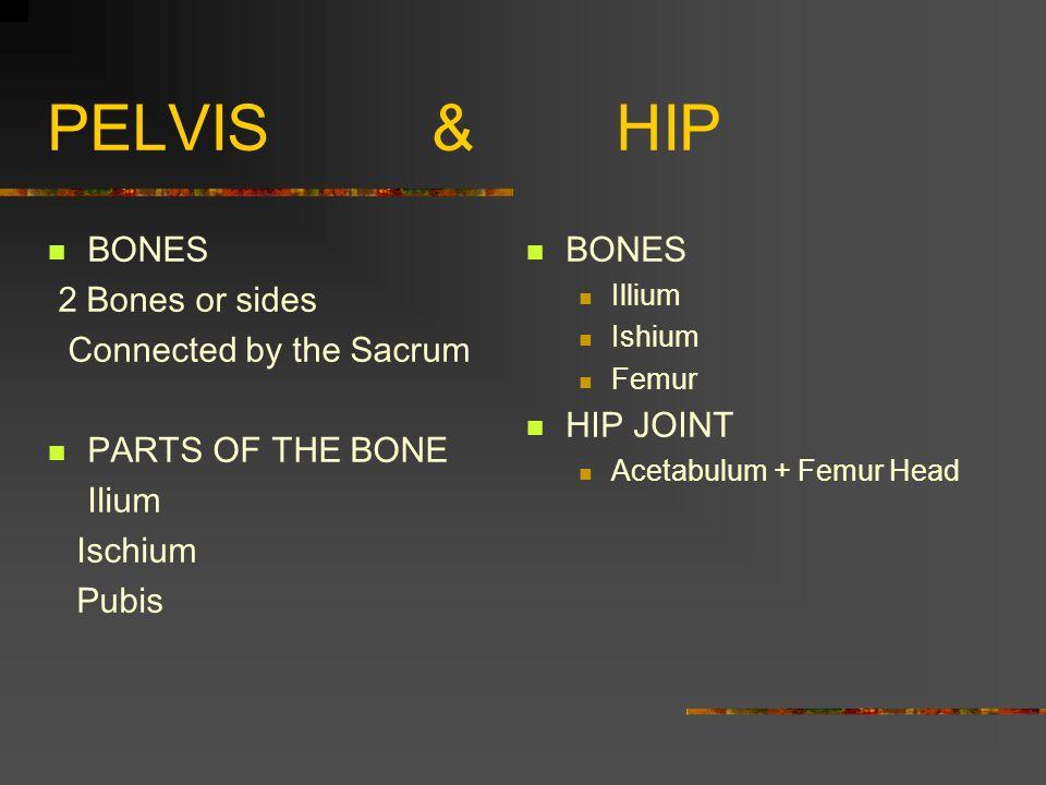 PELVIS & HIP BONES 2 Bones or sides Connected by the Sacrum PARTS OF THE BONE Ilium Ischium Pubis BONES Illium Ishium Femur HIP JOINT Acetabulum + Femur Head