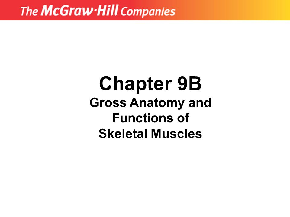 Chapter 9B Gross Anatomy and Functions of Skeletal Muscles
