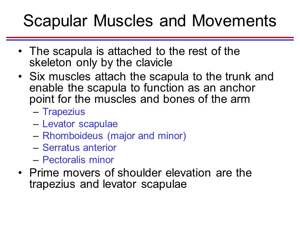Scapular Muscles and Movements The scapula is attached to the rest of the skeleton only by the clavicle Six muscles attach the scapula to the trunk and enable the scapula to function as an anchor point for the muscles and bones of the arm –Trapezius –Levator scapulae –Rhomboideus (major and minor) –Serratus anterior –Pectoralis minor Prime movers of shoulder elevation are the trapezius and levator scapulae