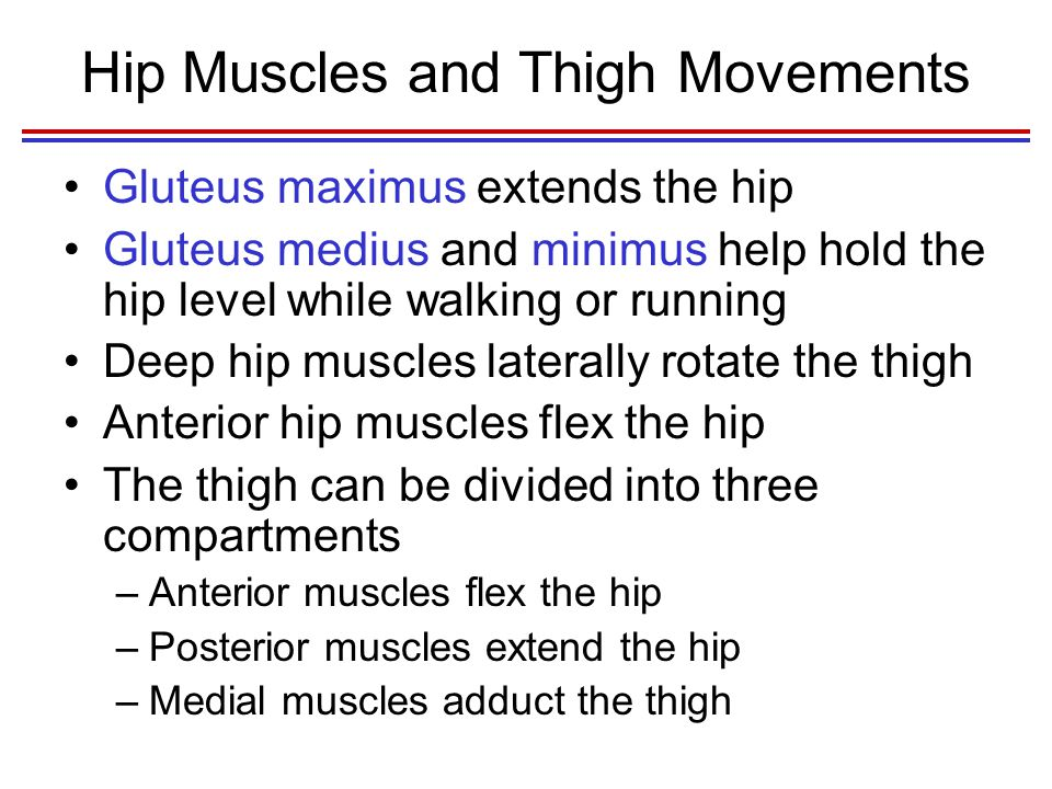 Hip Muscles and Thigh Movements Gluteus maximus extends the hip Gluteus medius and minimus help hold the hip level while walking or running Deep hip muscles laterally rotate the thigh Anterior hip muscles flex the hip The thigh can be divided into three compartments –Anterior muscles flex the hip –Posterior muscles extend the hip –Medial muscles adduct the thigh