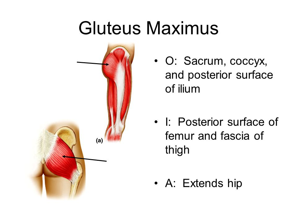 Gluteus Maximus O: Sacrum, coccyx, and posterior surface of ilium I: Posterior surface of femur and fascia of thigh A: Extends hip