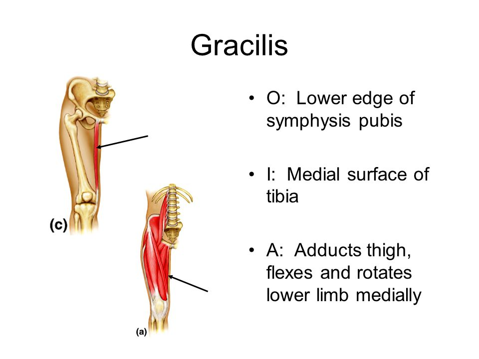 Gracilis O: Lower edge of symphysis pubis I: Medial surface of tibia A: Adducts thigh, flexes and rotates lower limb medially