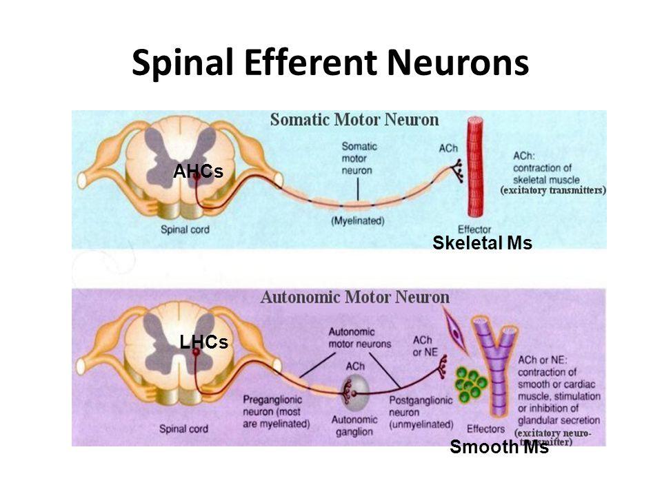 Spinal Efferent Neurons AHCs LHCs Skeletal Ms Smooth Ms