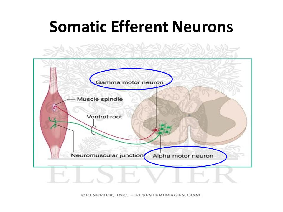 Spinal Efferent Neurons AHCs LHCs Skeletal Ms Smooth Ms