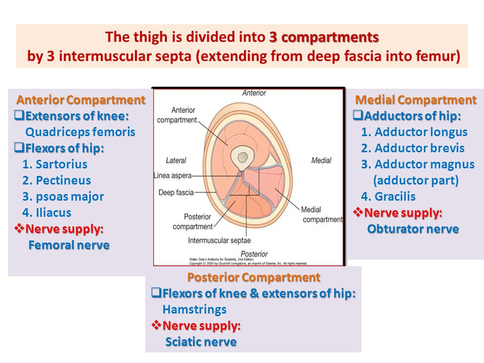 3 compartments The thigh is divided into 3 compartments by 3 intermuscular septa (extending from deep fascia into femur) Anterior Compartment  Extens