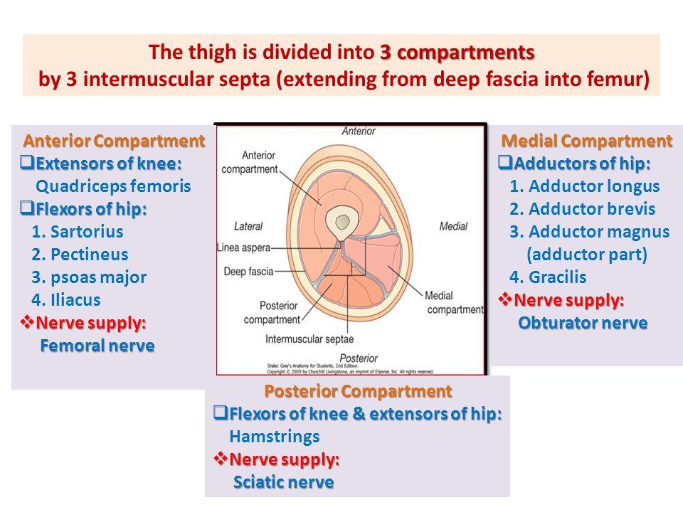 ANTERIOR COMPARTMENT OF THIGH S P PM I Vastus Intermedius (deep to rectus femoris) RF VL VM NERVE SUPPLY: Femoral nerve Quadriceps femoris