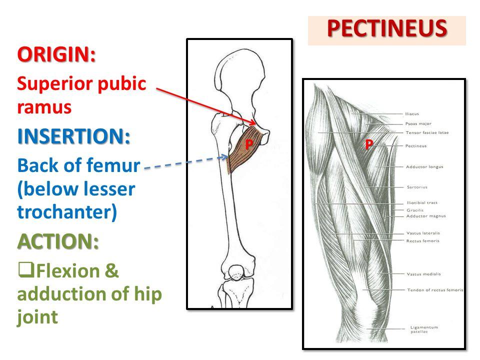ILIOPSOAS: ILIACUS & PSOAS MAJOR INSERTION: Lesser trochanter of femurACTION: Flexion of hip joint PM I IPM