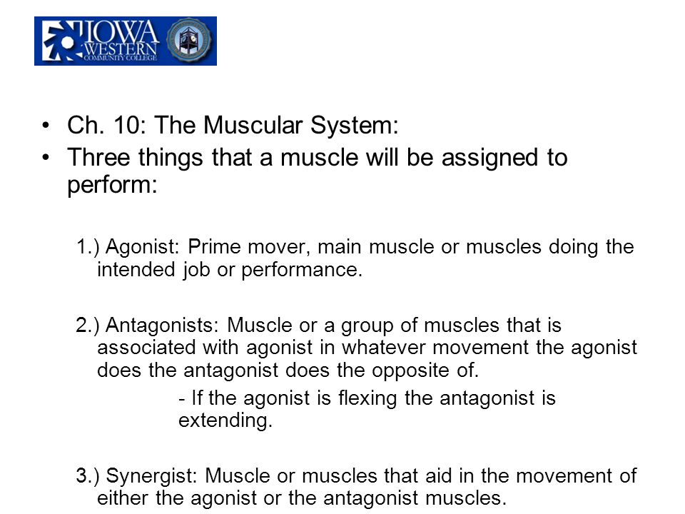 Ch. 10: The Muscular System: Three things that a muscle will be assigned to perform: 1.) Agonist: Prime mover, main muscle or muscles doing the intend
