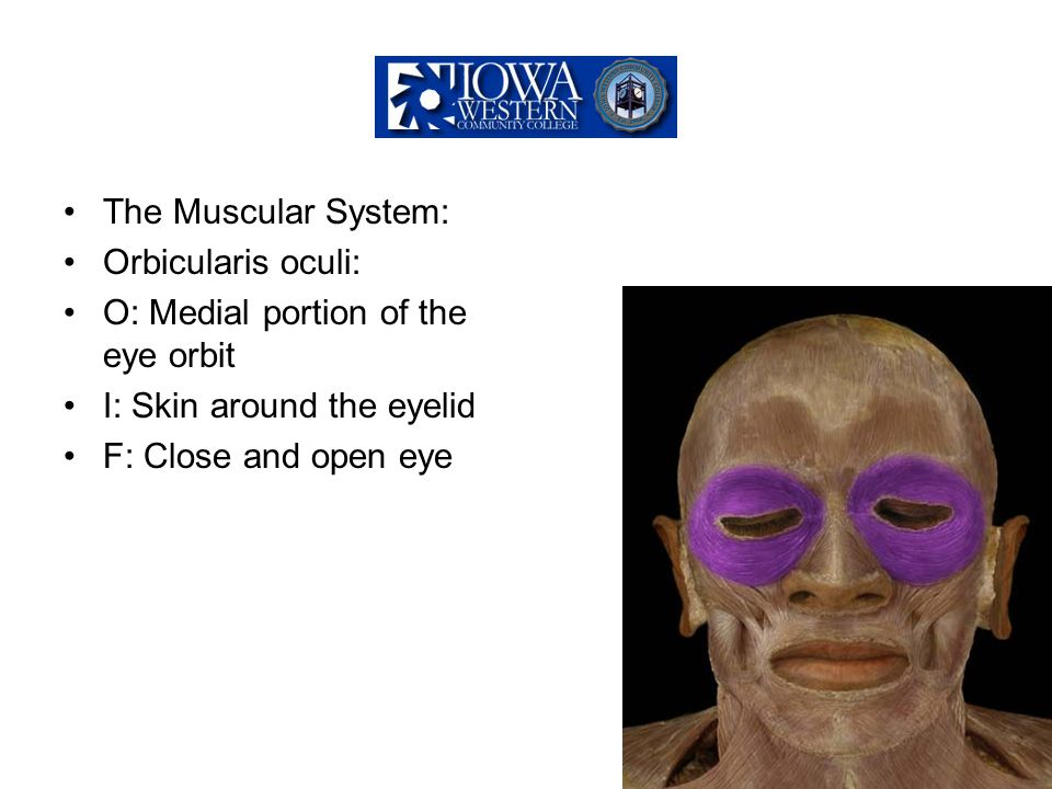 The Muscular System: Orbicularis oculi: O: Medial portion of the eye orbit I: Skin around the eyelid F: Close and open eye