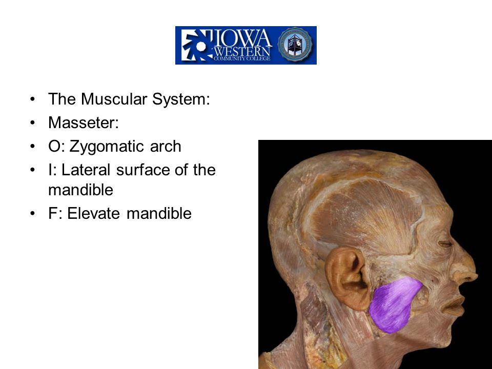 The Muscular System: Masseter: O: Zygomatic arch I: Lateral surface of the mandible F: Elevate mandible