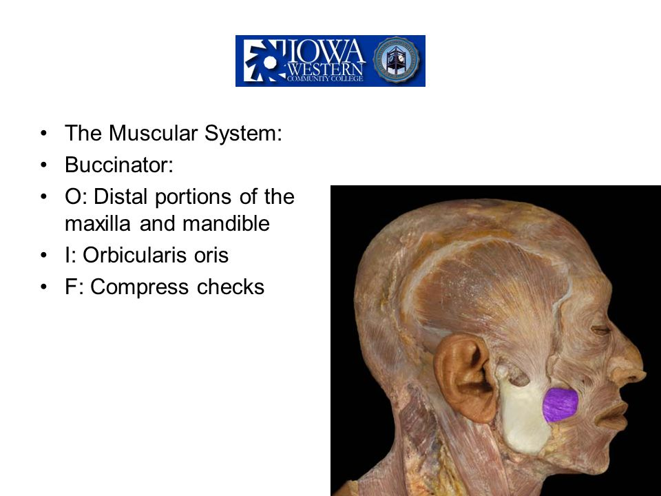 The Muscular System: Buccinator: O: Distal portions of the maxilla and mandible I: Orbicularis oris F: Compress checks